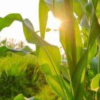 como mejorar el cultivo del maiz
